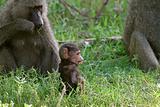 Olive baboons (Papio anubis)
