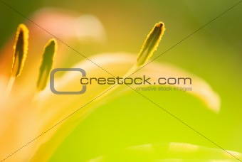 abstract tiger lily close-up photo