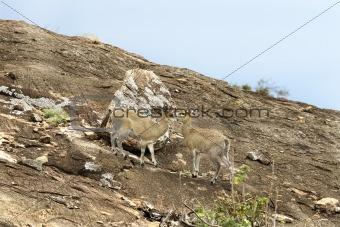 Klipspringers (Oreotragus oreotragus)