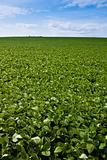 Soybean Field and Blue Sky