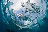Lemon Sharks in the Bahamas