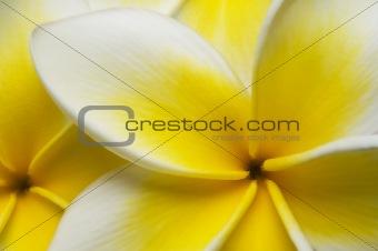 Close up Plumeria