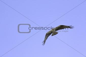 American osprey (Pandion haliaetus) in flight against a blue sky