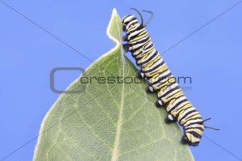 Monarch Butterfly Caterpillar (danaus plexippus)