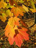 beautiful autumn leaves of maple tree