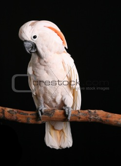 Calm Male Moluccan Cockatoo on Black