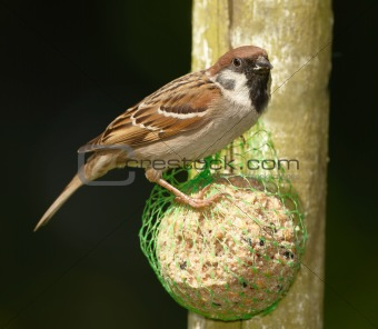 A telephoto of a beautiful sparrow