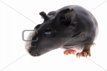 skinny guinea pig on white background