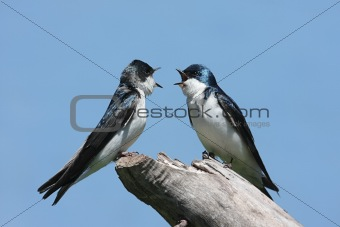 Pair of Tree Swallows on a stump