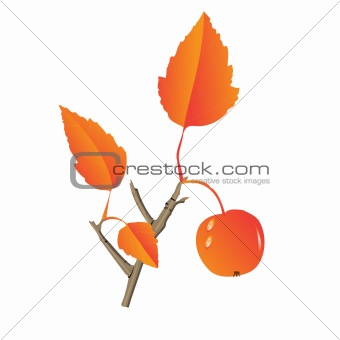Apple tree leaf and fruit