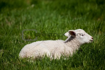 Sleep Lamb