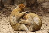 Two monkeys grooming