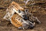 Hyena's getting ready for a nap