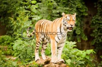 Tiger prancing