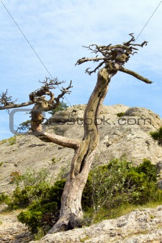 withered juniper tree