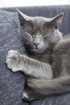 gray cat on a sofa