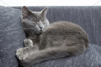 gray cat on a sofa
