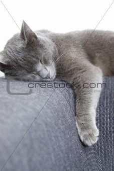 gray cat sleeping on a sofa