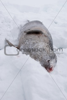 Fished seal