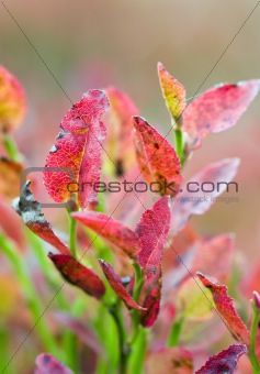 Autumn whortleberry bush