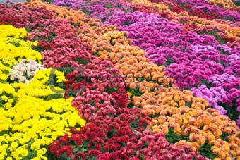 chrysanthemum flower-bad