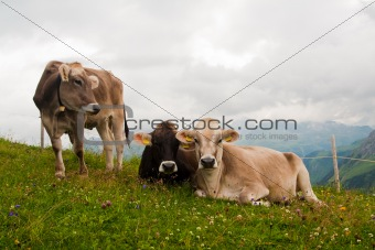 Group of alpine cows looking at camera