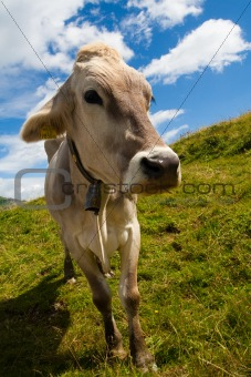 Alpine cow on green meadow