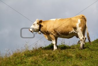 Alpine cow on a hill