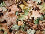 Autumn teaves