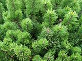 Pine tree texture and background