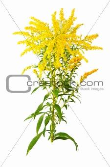 Great Goldenrod Flower