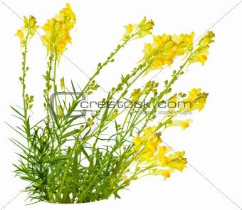 Toadflax (Linaria vulgaris)