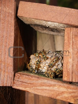 Wasps Working on Their Nest