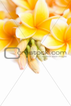 Frangipani flower arranged together