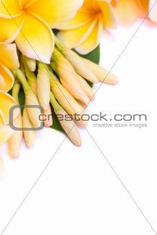 Frangipani flower arranged together