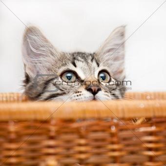 Kitten in ambush