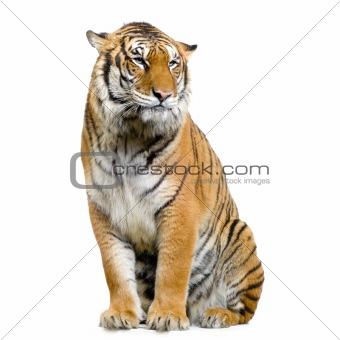 Tiger sitting