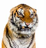 Tiger&#39;s Snarling