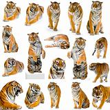 18 tigers
