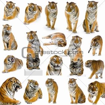 18 tigers