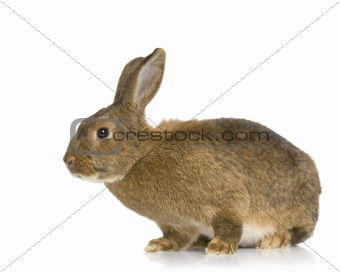Common Rabbit