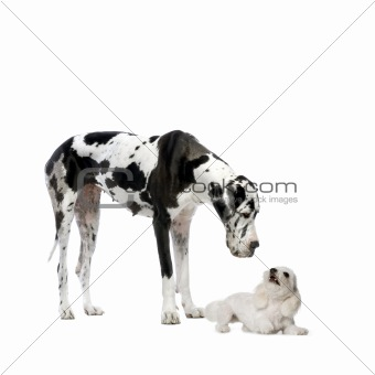 Great Dane HARLEQUIN and maltese dog