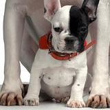 french Bulldog between pit bull's paws