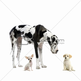 Great Dane HARLEQUIN, Labrador puppy and Chihuahua puppy