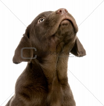 Puppy Labrador retriever chocolate