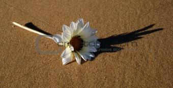 Beach Gazania