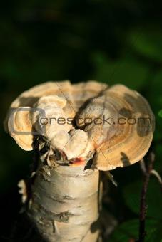 Single mushroom