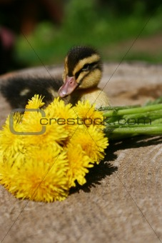 Small duck and yellow flowers