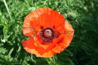Blooming poppry flower