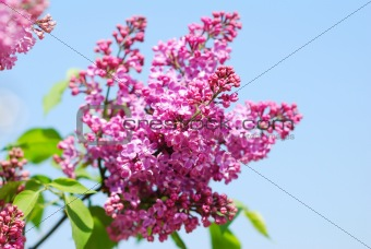 Lilac blossoms branch